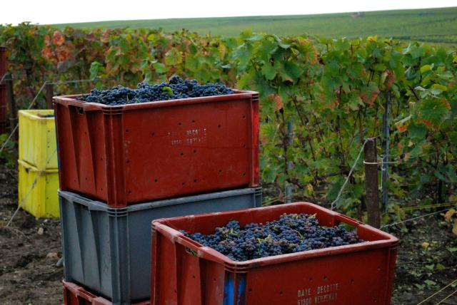 Champagne Region during Harvest